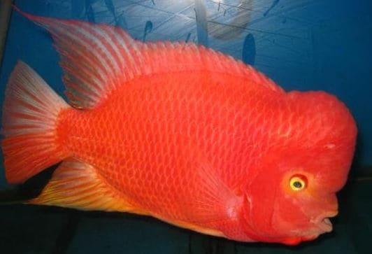 Harga Ikan louhan SRS (Super Red Synspilum)