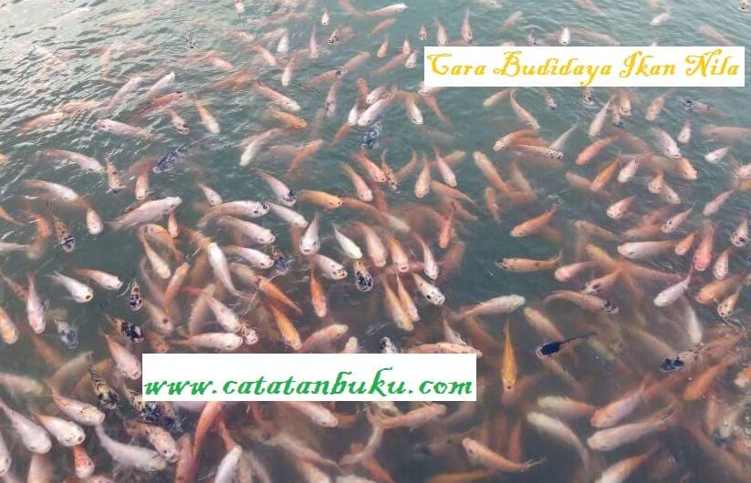 Cara Budidaya Ikan Nila Biar Cepat Panen