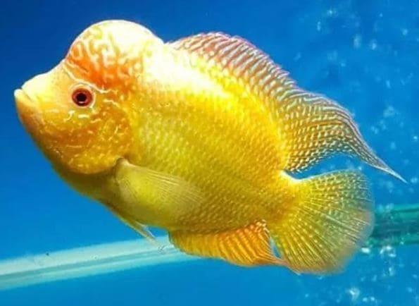 Harga ikan louhan golden base terbaru