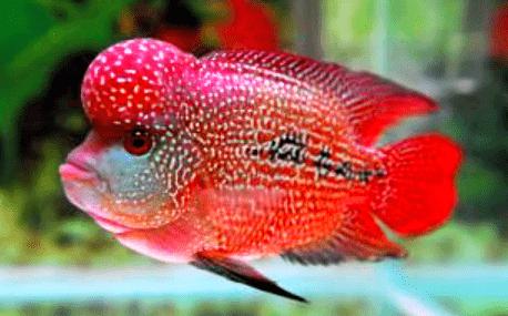 Daftar harga Ikan Louhan SRD (Super Red Dragon)
