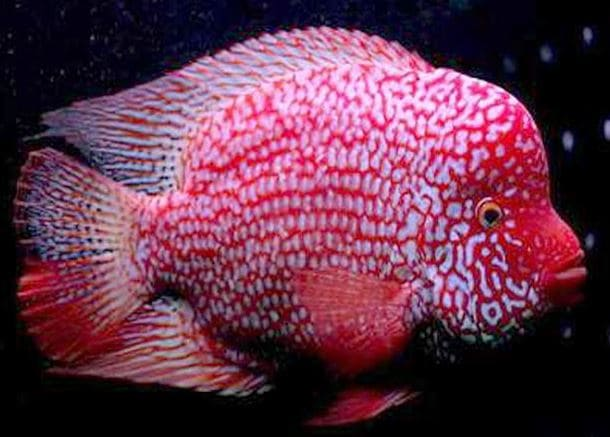 Harga Ikan Louhan SRT (Super Red Texas)