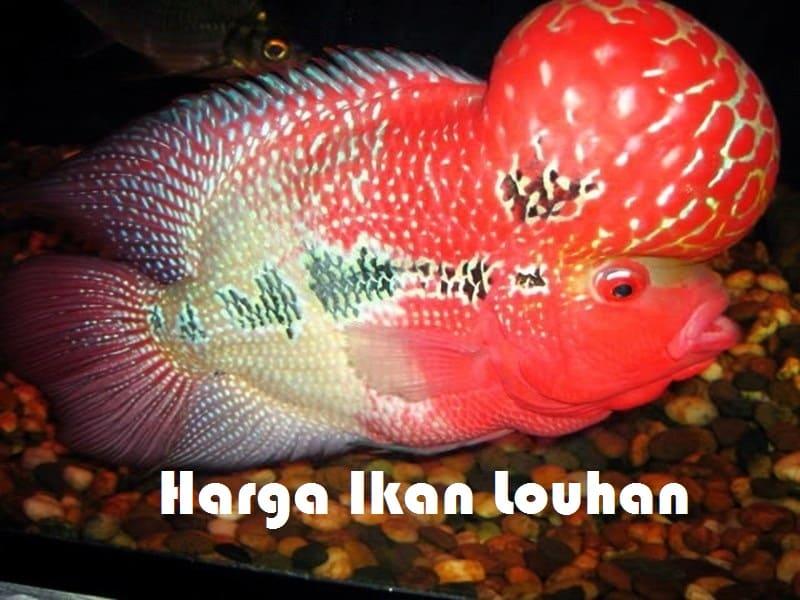 Harga Ikan Louhan: Daftar Harga Semua Jenis Terbaru