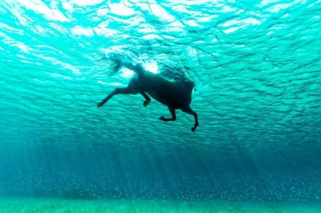 kuda berenang di laut.