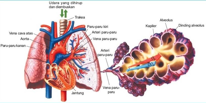 Fungsi Alveolus Adalah Pengertian Fungsi Ciri Dan Struktur Bagiannya